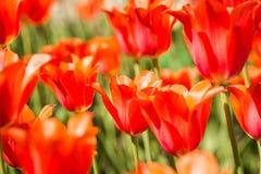 Feld von orange Tulpen in Holland Stockfotografie