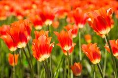 Feld von orange Tulpen in Holland Stockbilder