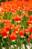 Feld von orange Tulpen in Holland Lizenzfreie Stockfotos