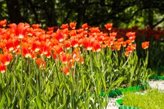Feld von orange Tulpen in Holland Lizenzfreies Stockbild