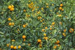 Feld von Orangen Stockfotos