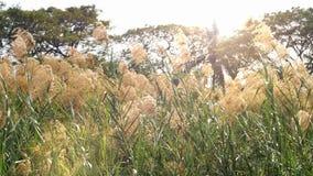 Feld von Poaceae beeinflussend in den Wind stock footage