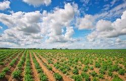 Feld von potatos und von bewölktem blauem Himmel stockfotos