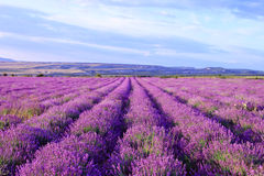 Feld von purpurroten Lavendelblumen Lizenzfreies Stockfoto