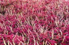 Feld von purpurroten leaved Blumen Lizenzfreies Stockbild