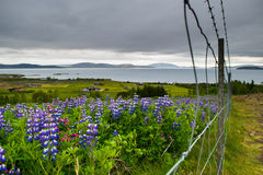 Feld von purpurroten Nootka-Blumen, nahe Nationalpark Thingvellir lizenzfreie stockfotografie