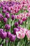Feld von purpurroten Tulpen lizenzfreies stockfoto