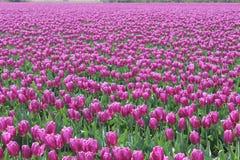 Feld von purpurroten Tulpen in Mount Vernon, Washington USA Stockbilder