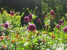 Feld von purpurroten und roten Blumen Lizenzfreie Stockbilder