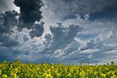 Feld von Rapssamen mit einem großen stürmischen Himmel Stockfotografie