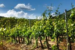 Feld von Reben in der Landschaft von Toskana Stockbilder