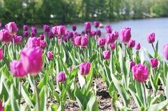 Feld von redpurple Tulpen stockfoto