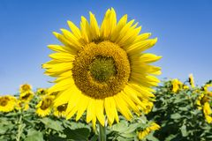 Feld von riesigen Sonnenblumen - 3 stockbilder
