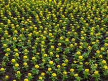 Feld von Ringelblumen Stockfotos