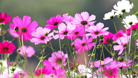 Feld von rosa Blumen, HD 1080P Stockfotografie