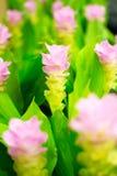 Feld von rosa Siam-Tulpenblumen stockbild