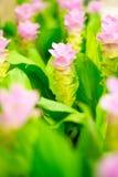 Feld von rosa Siam-Tulpenblumen lizenzfreie stockfotografie
