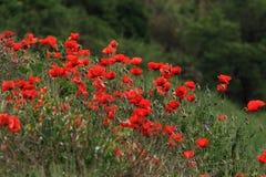 Feld von roten Mohnblumen. Lizenzfreies Stockfoto