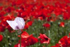 Feld von roten Mohnblumen mit weichem Bewegungseffekt der Luft, die sie schwingt Stockfotografie