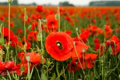 Feld von roten Mohnblumen Papaver rhoeas Stockbild