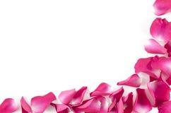 Feld von roten rosafarbenen Blumenblättern auf weißem Hintergrund Stockbild