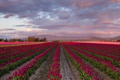 Feld von roten Tulpen mit bewölktem Himmel Stockfotografie