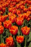 Feld von roten und orange Tulpen Lizenzfreie Stockfotos