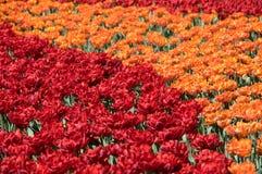 Feld von roten und orange Tulpen lizenzfreie stockfotografie