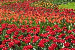 Feld von roten und orange Tulpen stockbild