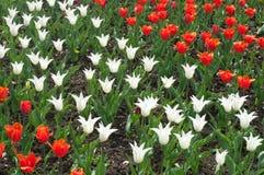 Feld von roten und weißen Tulpen lizenzfreie stockfotografie