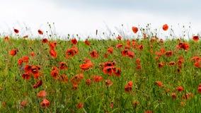 Feld von roten wilden Mohnblumen Stockfotos