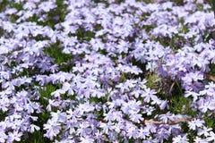 Feld von schönen hellen purpurroten Blumen Lizenzfreies Stockbild