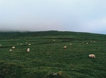 Feld von Schafen Stockfotos