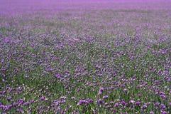 Feld von Schnittlauchblumen Lizenzfreies Stockbild