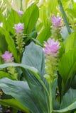 Feld von Siam-Tulpe blüht das Blühen im Naturgarten Lizenzfreie Stockfotografie