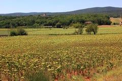Feld von Sonnenblumen Lizenzfreie Stockfotografie