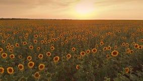 Feld von Sonnenblumen auf Sonnenuntergang stock footage