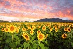 Feld von Sonnenblumen gegen drastischen Sonnenunterganghimmel stockfotografie