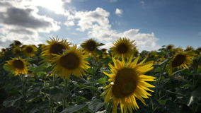 Feld von Sonnenblumen im Sommer stock video