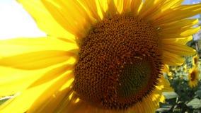 Feld von Sonnenblumen im Sommer stock footage