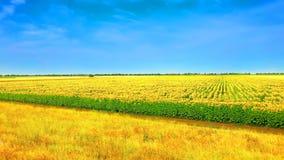 Feld von Sonnenblumen mit blauem Himmel Stockbilder