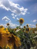 Feld von Sonnenblumen mit blauem Himmel und Wolken Lizenzfreie Stockfotos