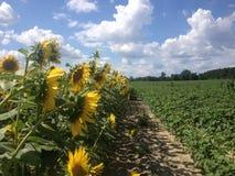Feld von Sonnenblumen mit blauem Himmel und Wolken Stockbilder