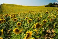 Feld von Sonnenblumen in Provence, Frankreich stockfotografie