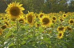 Feld von Sonnenblumen sind durch die Sonne hintergrundbeleuchtet. Stockfotografie
