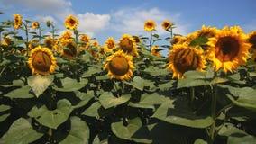 Feld von Sonnenblumen vor dem hintergrund der Wolken stock video footage