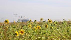 Feld von Sunflowers stock video