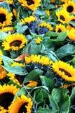 Feld von Sunflowers Lizenzfreie Stockfotografie