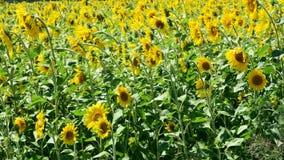 Feld von Sunflowers stock video footage