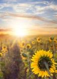 Feld von Sunflowers Stockbilder